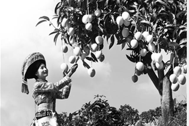 这几天,正是华坪芒果挂满枝头,满山飘香的时节。