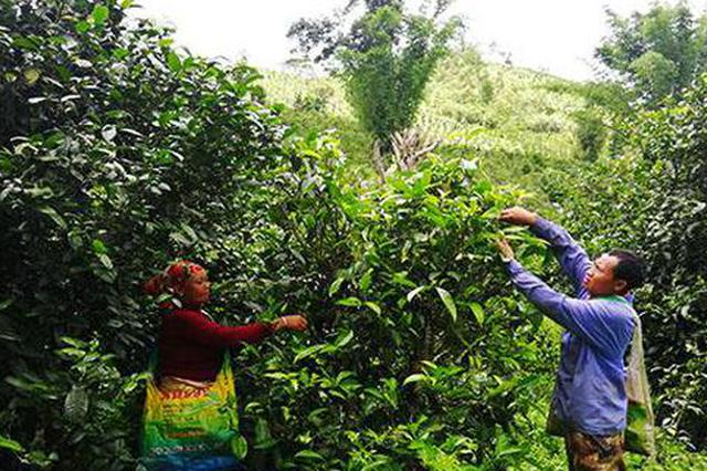 茶叶销售有保障 勐海布朗山乡致富忙