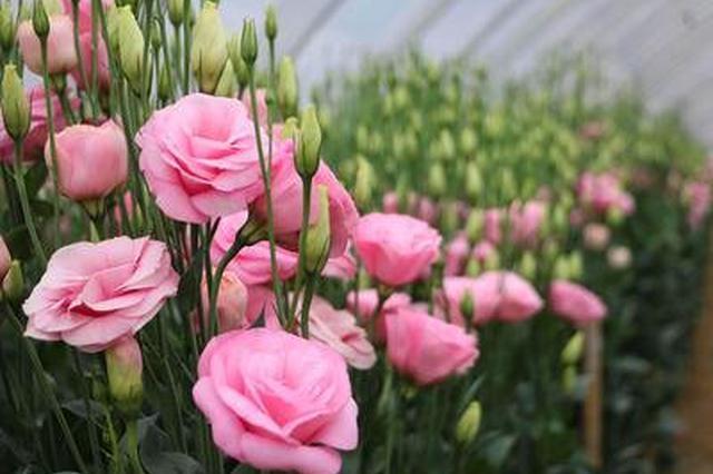 云品丨晋宁花卉种植规模近5万亩产值近16亿元