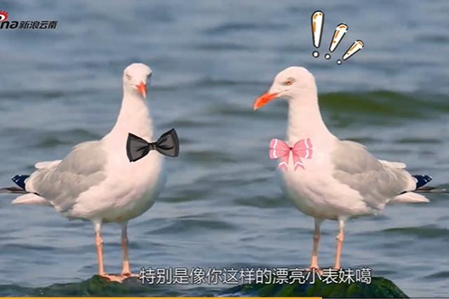 栏目丨昆明方言版海鸥disco它来啦!海鸥都被玩儿坏了