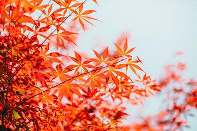 """视频丨红色""""蝴蝶""""翩翩起舞 快来云南文山赏枫吧!"""