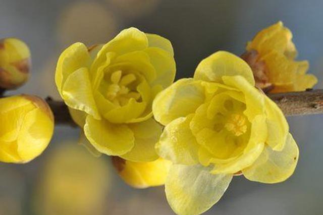 旅游丨黑龙潭公园蜡梅悄然绽放 是时候去赏花啦