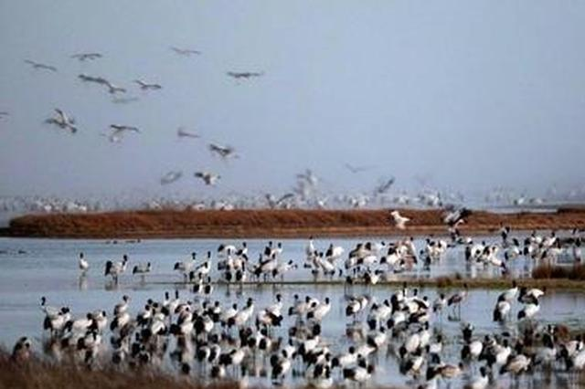 太壮观啦!1000多只黑颈鹤归巢云南大山包保护区