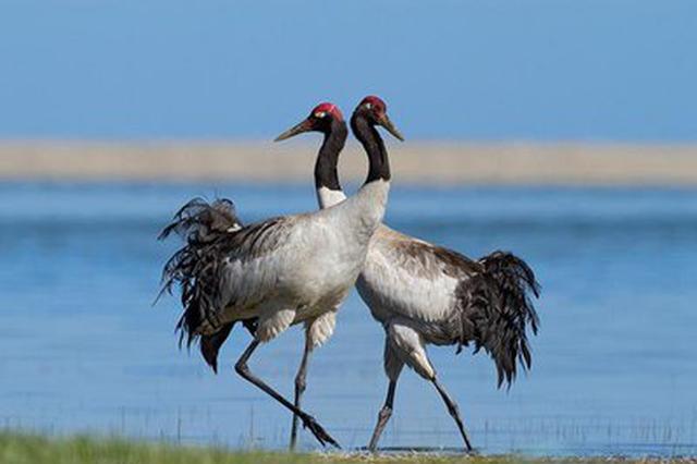 生态湿地引客来!怒江贡山丙中洛首现黑颈鹤