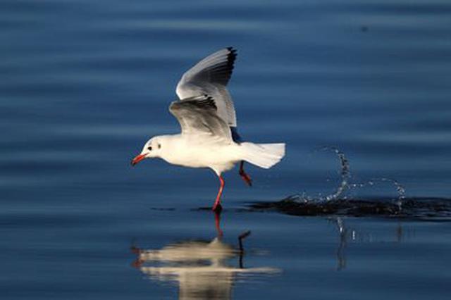 越冬红嘴鸥数量比去年少?鸟协回应:没有少只是分散了