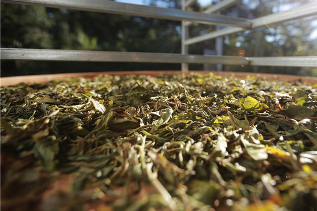 云品丨云南沧源:千年古茶树孕育致富新商机