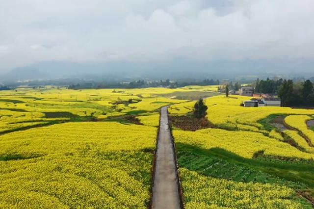 视频丨高黎贡山下的伊甸园 油菜花海中的醉美云南