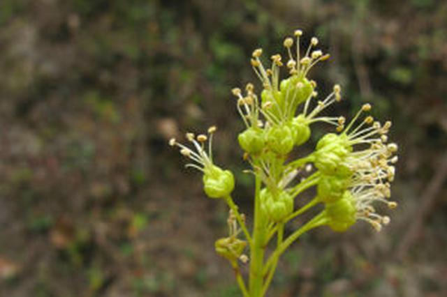 云南云龙:极小种群野生植物漾濞槭首次开花