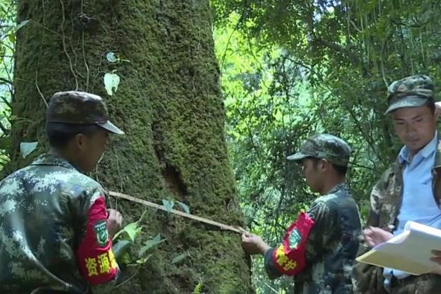 5月19日拍摄的在云南高黎贡山国家级自然保护区保山段发现的滇桐植株。(陈晓丹摄)