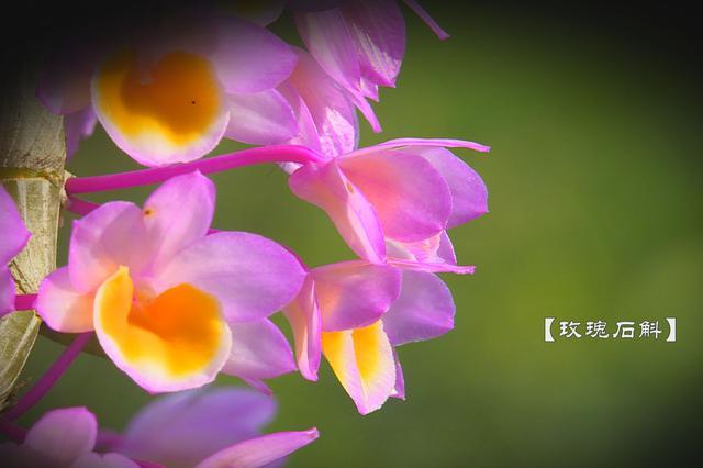 云南龙陵:石斛花开如此惊艳,每一帧都美成了壁纸!