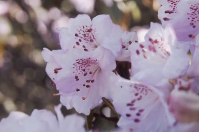 视频丨仲夏时节,云南昆明轿子雪山开满杜鹃花!