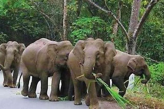 云南普洱:野生亚洲象出没 当地加强预警监测