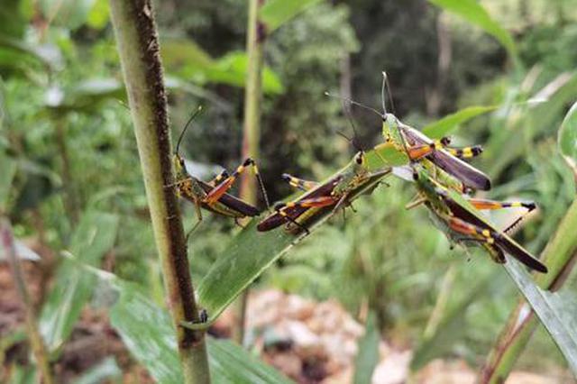 云南已发生3次较大规模黄脊竹蝗迁入 防控形势依然严峻