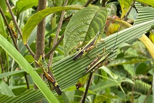 云南部分地区连续4天未出现黄脊竹蝗迁入 防治成效明显