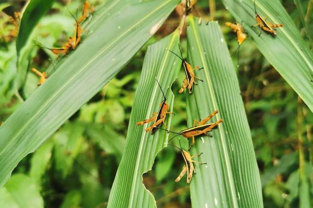 玉溪新平县首次发现黄脊竹蝗 暂未对林草植物造成危害