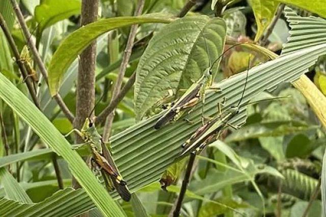 云南黄脊竹蝗发生面积超15万亩 涉及9个县