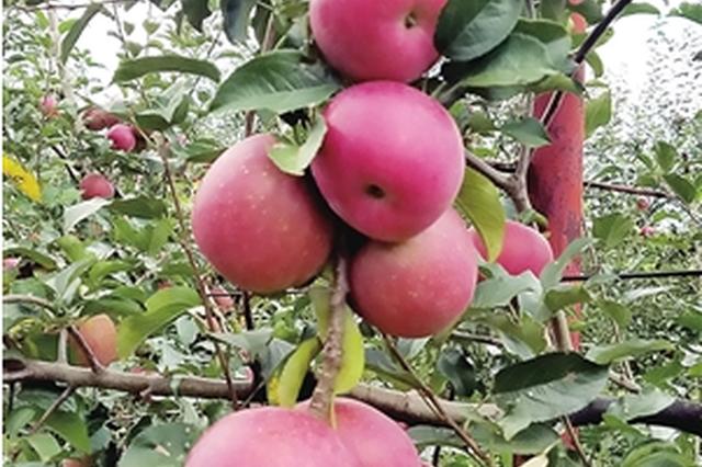 """云品丨西山区""""团结苹果""""红了 等你去农家游"""