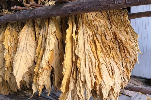 云品丨丽江巨甸镇:万亩烤烟喜获丰收