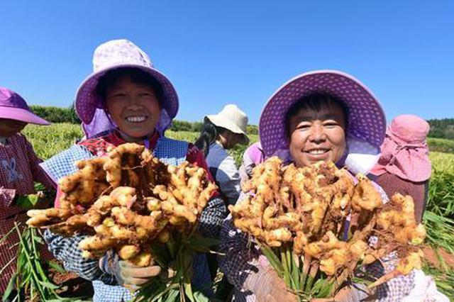 云品丨云南罗平:万亩黄姜迎丰收