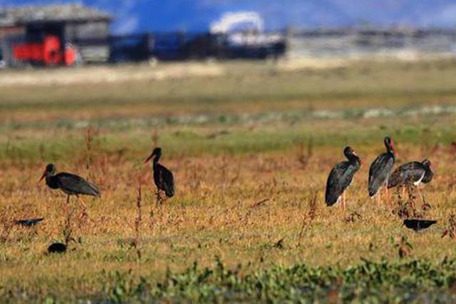 旅游丨纳帕海国际重要湿地成黑鹳国内最大越冬停歇地
