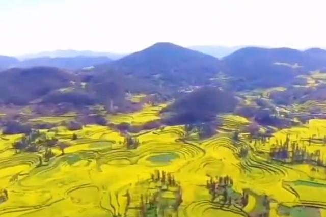 視頻丨航拍云南羅平:萬畝油菜綻放 一望無際的金黃