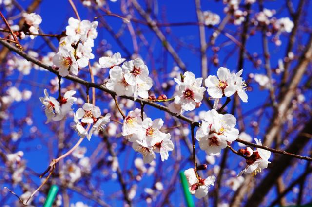 """桃花已開笑春風,你還在等什么?來香格里拉赴一場""""三生三世"""