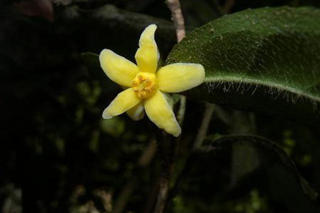我國首次發現山茶屬管蕊茶組新植物云南管蕊茶