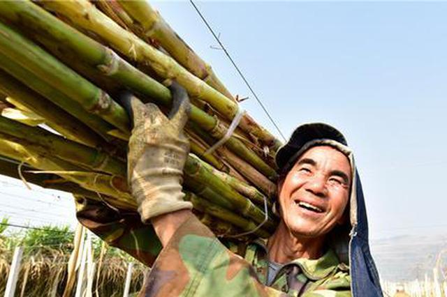 云南彌勒:古法制糖熬出村民甜蜜生活