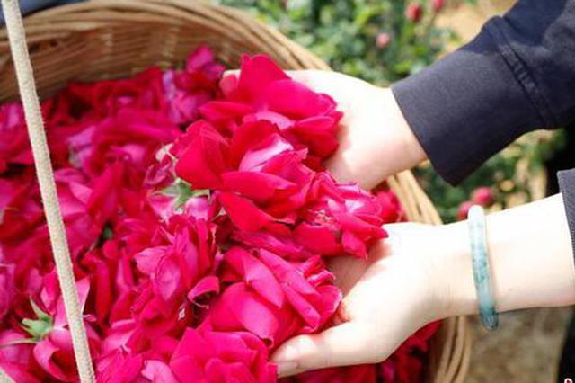 万亩食用玫瑰进入盛花期 云南安宁开启烂漫芬芳之旅