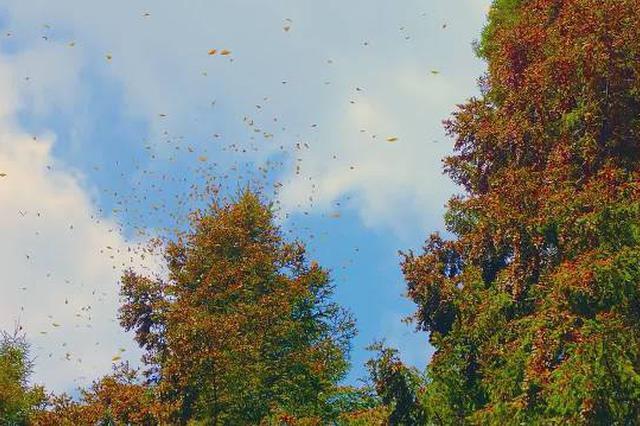 云南现1.5亿只蝴蝶大爆发奇观 为十年来最大规模
