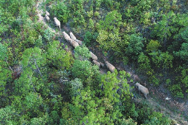 象群继续北迁 昆明市全力做好安全防范准备