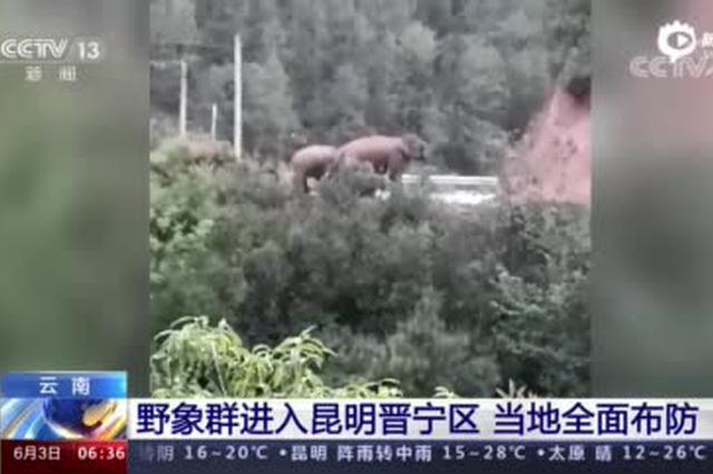 云南:野象群进入昆明晋宁区 当地全面布防
