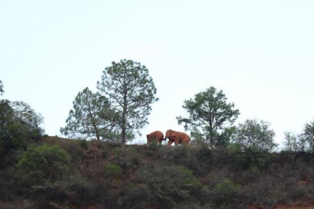 云南北移象群持续在易门县活动 独象已离群10天
