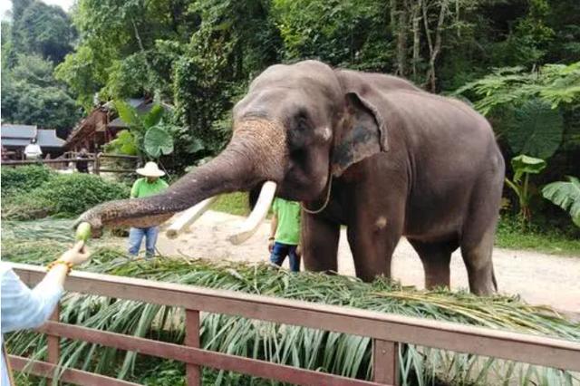 """云南普洱专门建立""""大象食堂"""" 降低大象进村入户概率"""