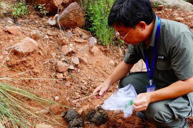 云南亚洲象群北移追踪:跟着专家拾象粪