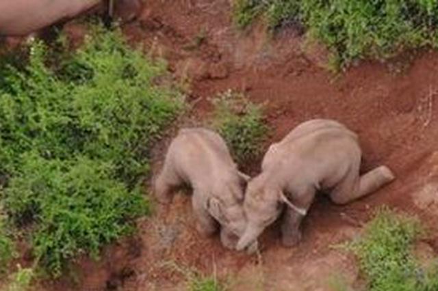 云南北移亚洲象群在龙武镇原地活动休息