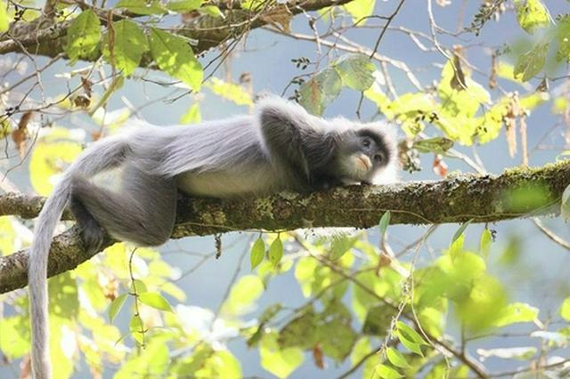 云南景东:国家一级保护动物灰叶猴超过2000只