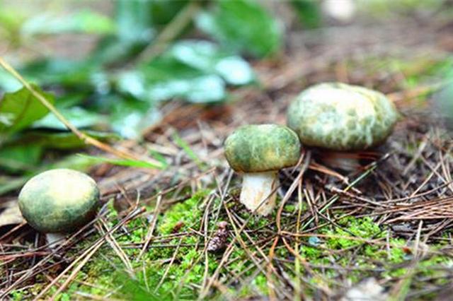 全国千余种野生食用菌90%在云南能找到 野生菌中的致幻毒素或