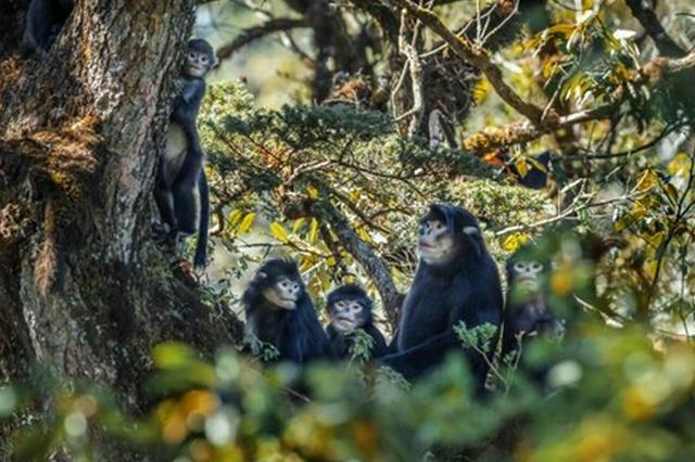 怒江金丝猴发现10年 种群数量升至250只左右