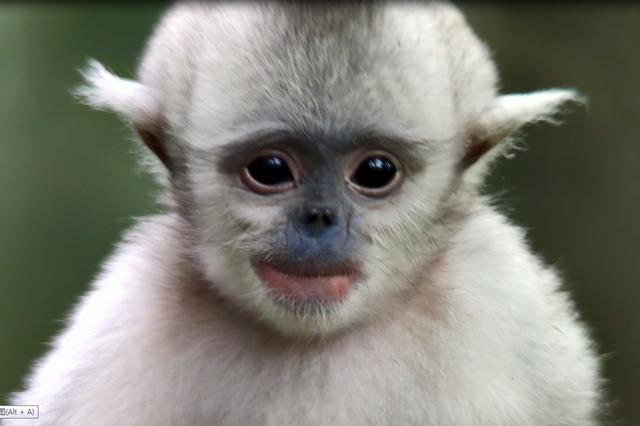 【COP15全球短视频征集作品展示】雪山萌猴