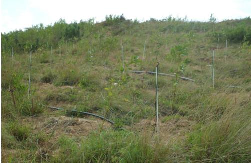 7月底绿化施工刚结束时的旱冬瓜青花椒混交造林现状