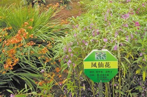 云南绥江县农民种植的中药材示范园里的药材
