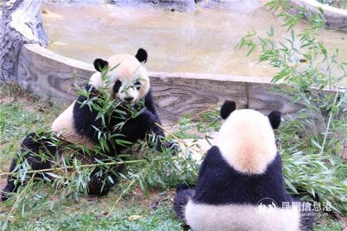 """毛竹和珍多正在悠闲地享用它们的""""早餐"""""""