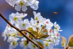 云大之滿園春色——梨花篇