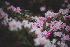 春末赏花不打烊!玉龙雪山杜鹃花开