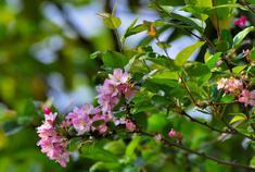 美丽昌宁·海棠藏进绿叶间
