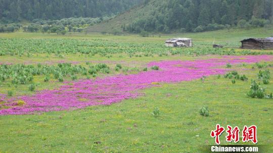 云南的高寒草甸 云南省林业和草原局局供图