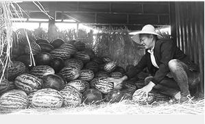 商贩批发到西瓜后拉到市场零售