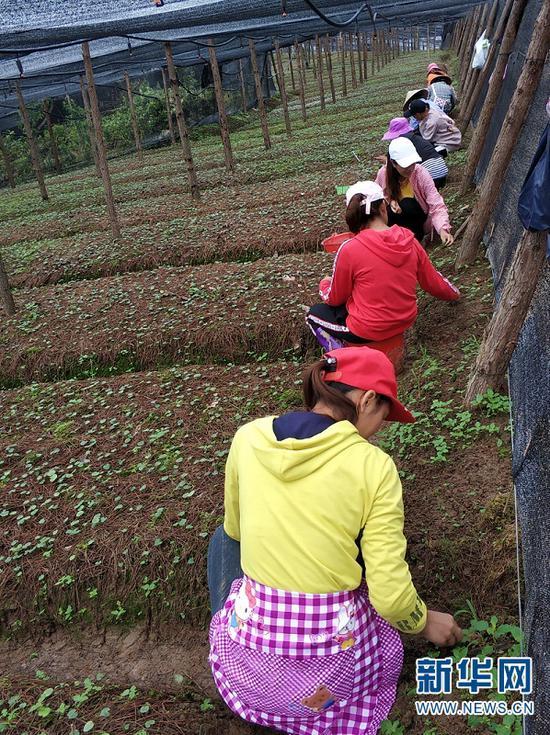 村民在中药材种植基地劳作
