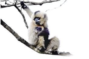 国家一级保护动物 ——西黑冠长臂猿